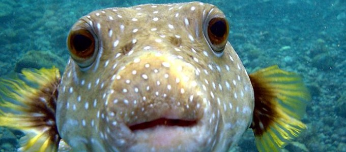 Puffer fish - image courtesy of Brocken Inaglory & Wikimedia